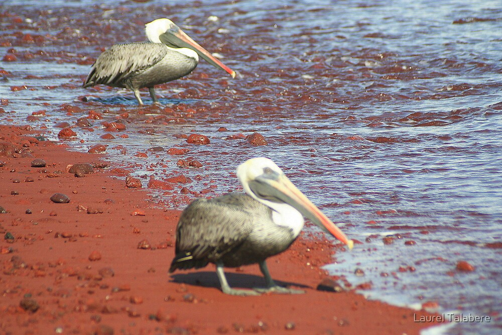 Brown Pelicans on a Red Beach by Laurel Talabere