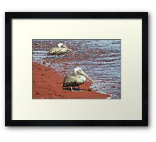 Brown Pelicans on a Red Beach Framed Print