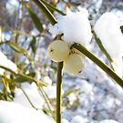 mistletoe berries,with snow in background by robertpatrick