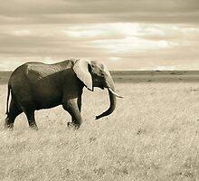 Elephant - Masai Mara, Kenya by Angela Rutherford