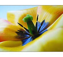 Tulip by MoGeoPhoto