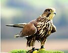 Peregrine Falcon  by davesphotographics