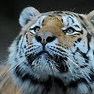 amur tiger by peterwey