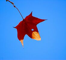 Maple Leaf in Fall by Terry Best