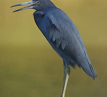 Little Blue Heron by Terry Best