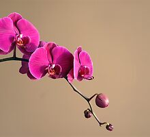 Magenta Orchids by Elena Ray