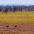 Emus at Lake Pamamaroo by Melva Vivian