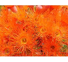 Orange Gums-(Floral Macro) Photographic Print