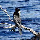 Darter Perched Over Tallow Creek by byronbackyard