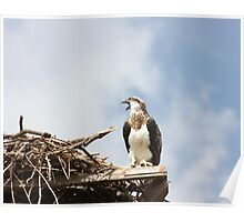 Juvenile Osprey Calling Mum Poster