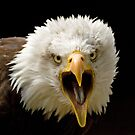 Bald Eagle Screaming by mrshutterbug