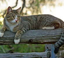 FARM CAT by Helen Akerstrom Photography