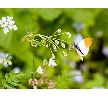 Orange Tipped Butterfly Photographic Print