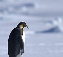 Emperor Penguins 2 - Merry Christmas Card by Steve Bulford