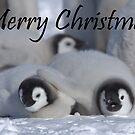 Emperor Penguins 5 - Merry Christmas Card by Steve Bulford
