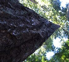 Big Douglas Fir by jackdouglas