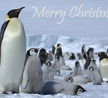 Emperor Penguins 7 - Merry Christmas Card by Steve Bulford