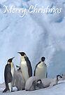 Emperor Penguins 11 - Merry Christmas Card by Steve Bulford
