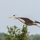 Great Blue Heron In Flight 2015-5 by Thomas Young