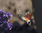 Humming Bird Hawk Moth 2 by SWEEPER