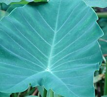 Curious about Colocasia by Lorraine Armstrong