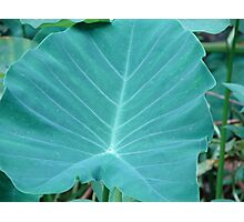 Curious about Colocasia Photographic Print