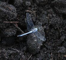 Dragon Fly by Lorraine Armstrong