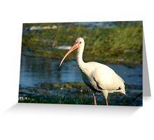 Ibis 2 Greeting Card