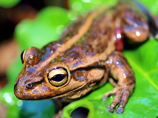 Eye Of The Frog by John Peel