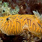 Halgerda willeyi, Lord Howe Island by Erik Schlogl