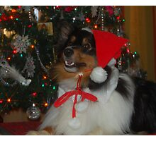 Sheltie Christmas Photographic Print