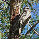 Tawny Frogmouths (Nightjars) by byronbackyard