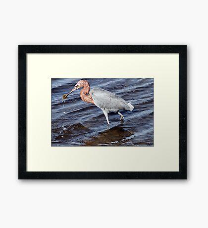 Reddish Egret Framed Print