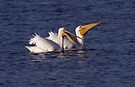 White Pelicans by Michael  Moss