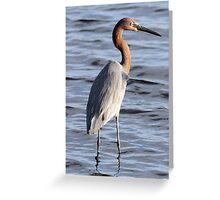 Reddish Egret Greeting Card