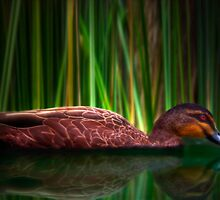 The Duck - Sydney Royal Botanic Gardens, Sydney, Australia by Mark Richards