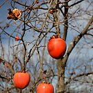 Persimmon in Autumn by turningjapanese