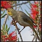White Plumed Honeyeater by TheGreatContini
