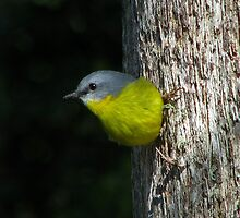 Eastern Yellow Robin by TheGreatContini