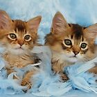 Somali kittens by sarahnewton