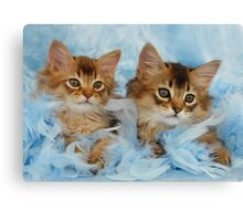 Somali kittens Canvas Print