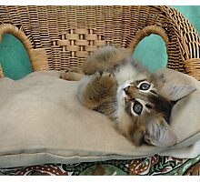 usual somali kitten relaxing  Photographic Print