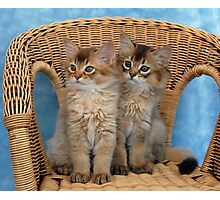 somali kittens on a wicker chair Photographic Print