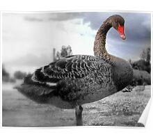 Australian Black Swan Poster