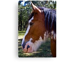 clydesdale charmer Canvas Print