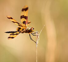 The Golden Winged Dragon Fly by Ann Marie  Barnes