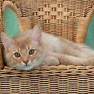 fawn somali cat resting on a wicker chair by sarahnewton