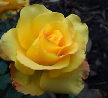 Yellow rose. by Vitta