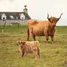 Highland cow and her calf on a Scottish croft by Linda More