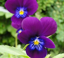The Pansy Twins by Barrie Woodward